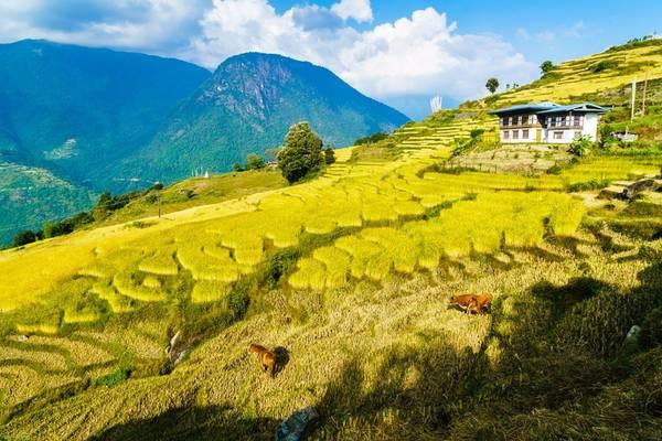Làng Radi ở phía đông bắc Bhutan được mệnh danh là thảm vàng hay giỏ lúa, bởi cấu trúc ruộng bậc thang trên núi uốn lượn bao quanh ngôi làng. Ảnh: Nguyễn Thanh Tùng.
