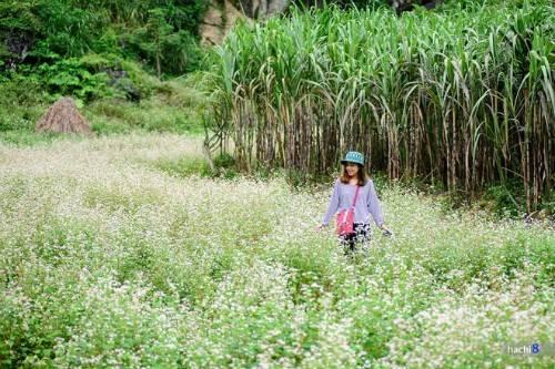 Description: Vẻ đẹp mê hoặc lòng người của cánh đồng hoa tam giác mạch trên cao nguyên đá Hà Giang. Ảnh: Hachi8.