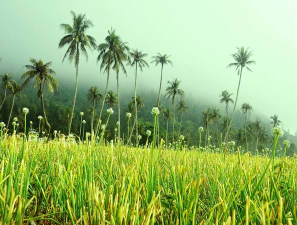 Sương mù trên cánh đồng hành, tỏi trong buổi bình minh.