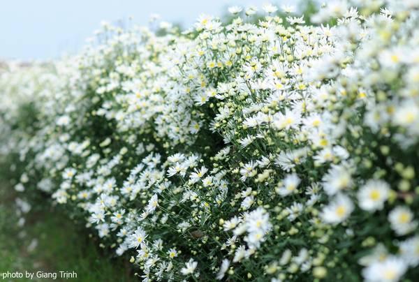 Cúc họa mi bắt đầu nở rộ vào cuối tháng 11, đứng giữa vườn hoa, nhiều người không khỏi cảm thấy choáng ngợp và thích thú khi chứng kiến những cánh đồng hoa trắng muốt, tinh khôi trải dài vút tầm mắt. Ảnh: Giang Trịnh