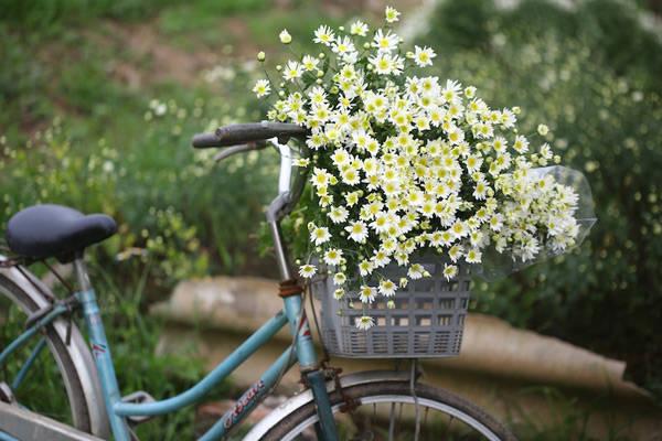 Đặc điểm của loài hoa này là cánh và bông nhỏ, màu trắng, từ giữa tỏa ra như hình nan hoa quanh một nhụy vàng tươi. Ảnh: Vũ Minh Quân