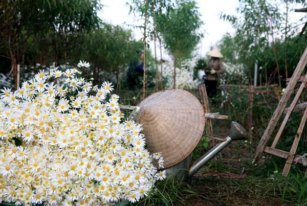 Cúc họa mi được trồng nhiều nhất ở các làng hoa như Tây Tựu, Nhật Tân... Vào mùa hoa, người dân ở đây thường thức dậy từ sớm để cắt hoa, phân loại rồi mang ra chợ bán. Ảnh: Lê Bích