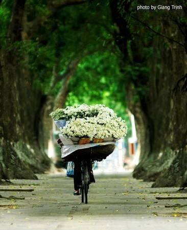Cúc họa mi được bày bán rất nhiều trên những con phố ở Hà Nội như phố Phan Đình Phùng, Bà Triệu, Nguyễn Thái Học... Ảnh: Giang Trịnh