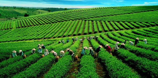 Là xứ sở của những cây công nghiệp lâu năm như chè, cà phê và dâu, từ lâu Bảo Lộc đã nổi tiếng với những đồi chè xanh ngút tầm mắt. Ảnh: duongbo