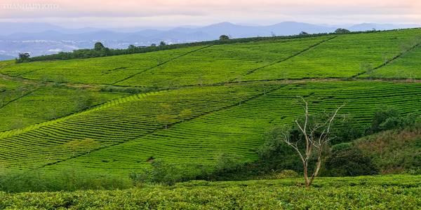 """Trải dài trên diện tích 230 ha, đồi chè Cầu Đất dễ khiến những tín đồ của màu xanh lá phải ngỡ ngàng trước cảnh sắc """"đất xanh ngắt, trời xanh trong"""".  Ảnh: TuanHai"""