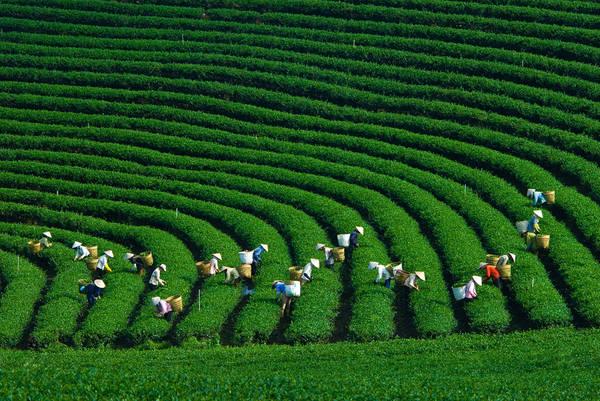 Nếu đi vào đúng thời điểm thu hoạch chè thì bạn sẽ dễ dàng bắt gặp những hình ảnh như thế này. Ảnh: dulichmocchau