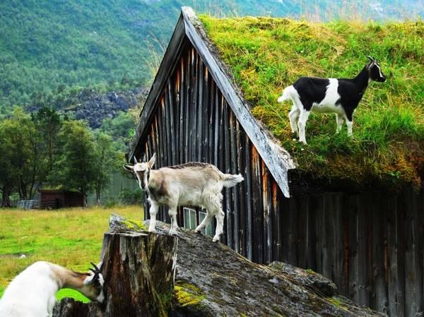 Không hiếm gia súc trên... mái nhà ở Renndolsetra - Ảnh: exviking