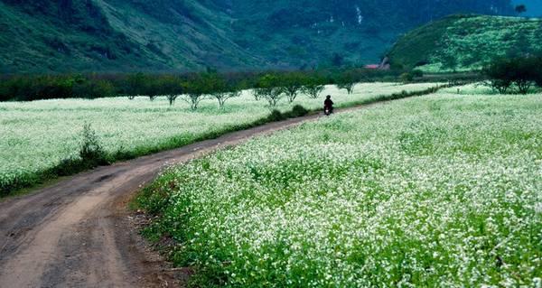 Hoa cải trắng Mộc Châu nở trắng đồi. Ảnh: vnexpress.net