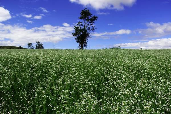 Loài hoa nở rộ vào khoảng đầu tháng 12 khi những cơn gió mùa đông ùa về.