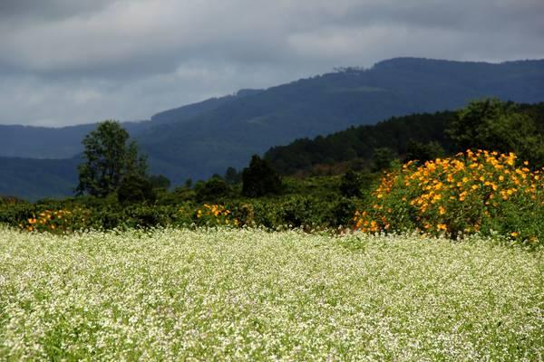 Tiếp nối sắc màu của loài hoa dã quỳ, cải trắng tinh khôi mang đến thành phố ngàn hoa một vẻ đẹp mới, một cơn gió trong lành cho những ngày đông để rồi tạo thêm dấu ấn, kỷ niệm mới trong lòng mỗi du khách phương xa.