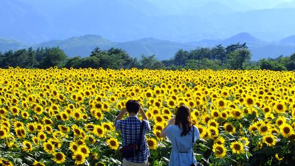 Ngỡ ngàng sắc vàng tươi tắn của biển hoa mặt trời tại Nghĩa Đàn, Nghệ An. Ảnh: gotoknow.info