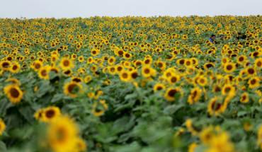 Rừng hoa hướng dương rực rỡ dễ khiến bạn cảm thấy phấn khích. Ảnh: Tuấn Đào