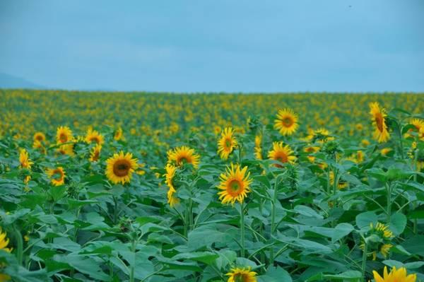 Hoa hướng dương luôn được xem là biểu tượng của niềm tin và hy vọng. Ảnh: fiditour.com