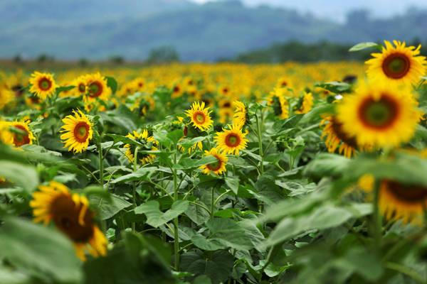 Những bông hoa rực rỡ hơn khi khoe sắc dưới ánh nắng mặt trời. Ảnh: Tuấn Đào