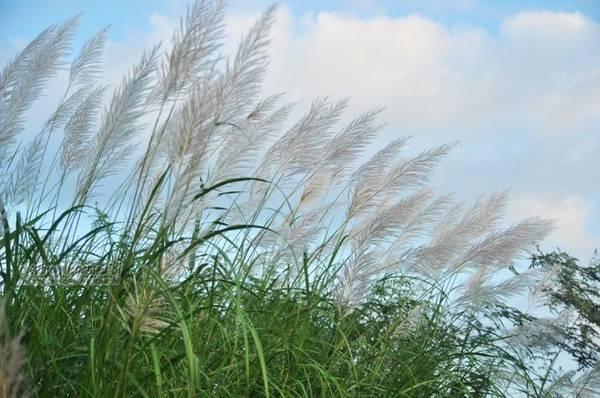 Lau mọc thành bờ bụi, trắng tinh khôi rập rờn theo gió - Ảnh: Phong Linh