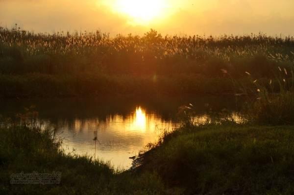 Bãi lau và hồ nước nhỏ nối liền với sông trong ánh hoàng hôn vàng úa - Ảnh: Phong Linh