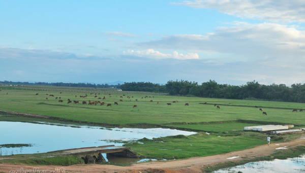 Đàn trâu bò hàng chục con thong thả gặm cỏ ven đê - Ảnh: Hà Bi