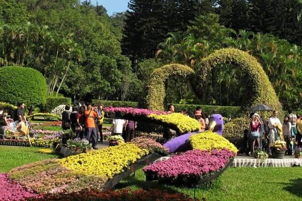 Lễ hội cũng có sự góp mặt của nhiều giống hoa cúc quý được đem đến từ Công viên quốc gia Yangmingshan.