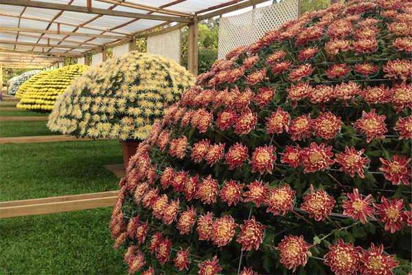 Lễ hội năm nay cũng gây ấn tượng với điểm nhấn là chậu hoa cúc ghép lớn kỷ lục lên tới 2430 bông hoa.