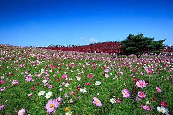 Mùa hoa cosmos ở công viên Hitachi Seaside - Ảnh: Phan An