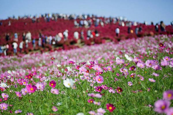 Mùa hoa cosmos ở công viên Hitachi Seaside - Ảnh: PhanAn