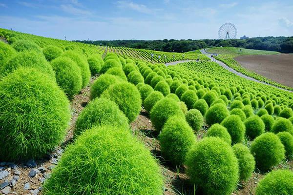 Cây Kokia xanh ở công viên Hitachi Seaside (phía xa là vòng đu quay)