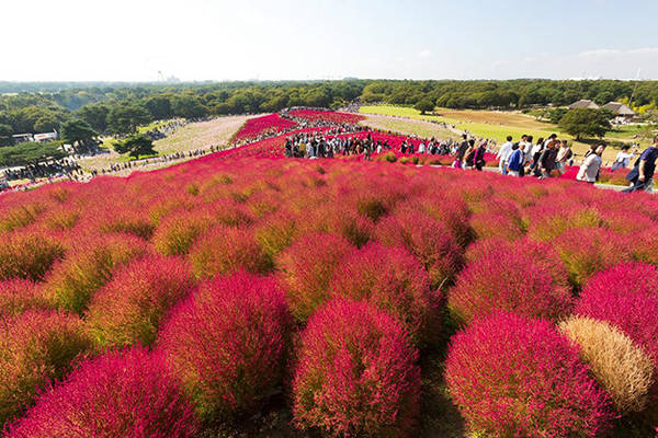 Cây Kokia đỏ ở công viên Hitachi Seaside - Ảnh: PhanAn