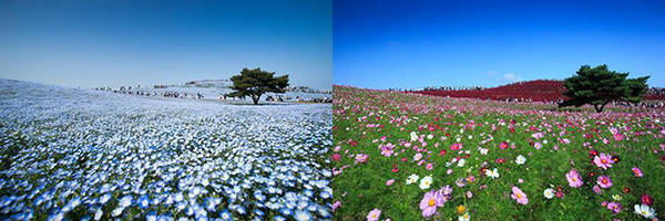 Mùa hoa nemophila (hoa mắt xanh) và mùa hoa cosmos ở công viên Hitachi- Ảnh: PhanAn