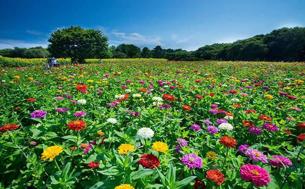 Mùa hoa cúc ở công viên Hitachi Seaside - Ảnh: Phan An