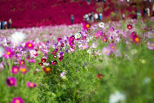 Du khách ngắm hoa ở công viên Hitachi park - Ảnh: Phan An