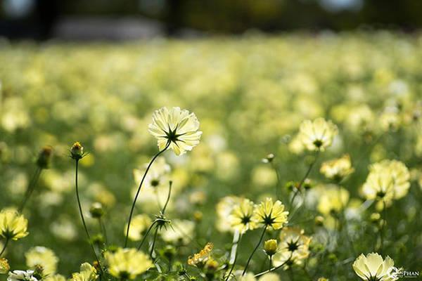 Hoa cosmos vàng - Ảnh Phan An