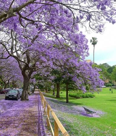 Trong khi khắp nơi chuẩn bị sang đông thì thời gian này Australia đang là mùa xuân. Khắp nơi tràn ngập sắc tím của phượng - loài hoa đặc trưng cho mùa xuân của xứ sở chuột túi. Tuy nhiên, phượng tím (Jacaranda) lại có nguồn gốc từ Nam Mỹ. Ảnh: bluejaicreative
