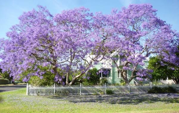 Meroogal - ngôi nhà xây dựng năm 1880, được coi như một bảo tàng sống ở Sydney. Qua 4 thế hệ sinh sống, đây là nơi du khách có thể tìm hiểu về cuộc sống của một gia đình trong cộng đồng bờ biển phía nam. Tới đây thời gian này, bạn cũng sẽ được chiêm ngưỡng vẻ đẹp quyến rũ của những cây phượng tím trước nhà. Ảnh: Sydneylivingmuseums