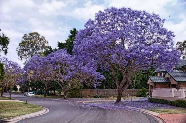 Hoa phượng tím nở từ tháng 9 đến tháng 11 và thường được trồng nhiều ở ven đường hay trong các công viên khắp Australia. Trong đó, Brisbane được mệnh danh là thành phố hoa phượng tím. Đến đây, bạn dễ dàng bắt gặp những hàng phượng nhuộm màu cả một góc trời. Ảnh: Tatters/Flickr