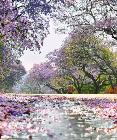 Hoa nở thành từng chùm với màu tím biếc, mang đến không gian lãng mạn. Đây cũng là khoảng thời gian lý tưởng để du khách thả hồn trong tiết trời tuyệt đẹp ở Australia và tham quan các điểm du lịch. Ảnh: Gardenclinic
