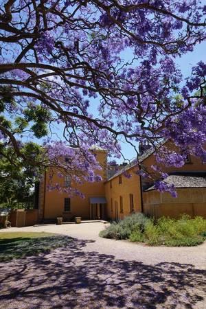 Ngoài ra, Sydney cũng là điểm đến du khách không thể bỏ qua khi ngắm hoa phượng. Trên hình là cây phượng tím lâu năm trong Vaucluse House - công trình kiến trúc Gothic được xây từ thế kỷ 19 và hiện là bảo tàng cho du khách tham quan. Ảnh: Sydneylivingmuseums