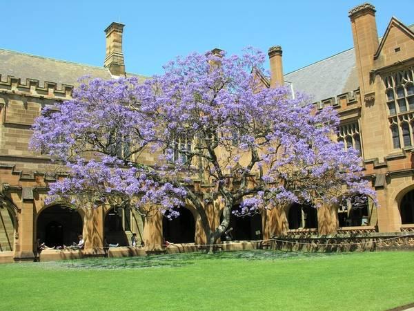 Một trong những cây phượng tím nổi tiếng nhất nằm trong sân của Đại học Sydney, được trồng vào năm 1927. Tại đây có một câu nói truyền miệng từ rất lâu rằng, nếu không ôn luyện cho kỳ thi trước khi cây phượng tím ở góc sân trường nở hoa, bạn có thể bị trượt. Ảnh: bluejaicreative