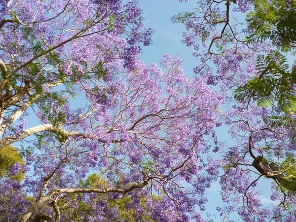 Sắc tím nổi bật trên nền trời trong xanh. Ảnh: Sydneylivingmuseums