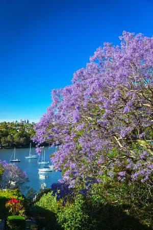 Ngoài Australia, loài cây này cũng được trồng ở một số nước khác như Nam Phi, Mexico, Singapore và Đà Lạt (Việt Nam). Ảnh: Gardenclinic