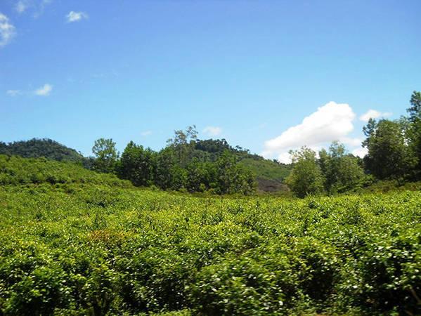 Những vườn chè trải rộng, xanh mướt trên đường về Tây Giang - Ảnh: Thanh Ly
