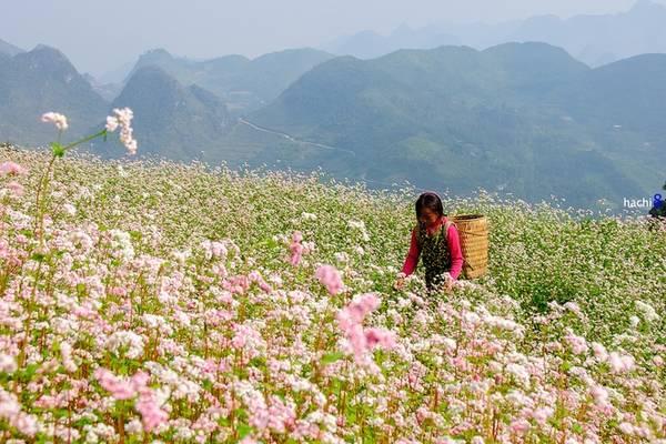 Tam giác mạch là loài hoa đặc trưng của cao nguyên đá Hà Giang, nở rộ từ cuối tháng 10 đến tháng 11. Du khách muốn ngắm và chụp ảnh với hoa có thể ghé qua Quản Bạ, Yên Minh, Phố Cáo, Sủng Là, Lũng Táo, Ma Lé, Mèo Vạc… Ảnh: Hachi8