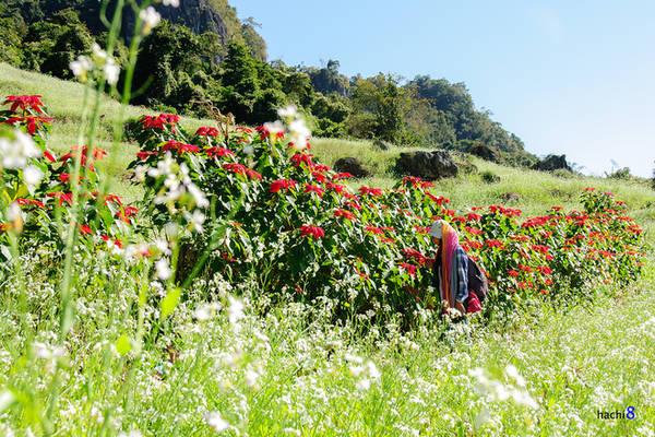 Hoa trạng nguyên tuy không trồng nhiều như cải nhưng sắc đỏ nổi bật trên nền cánh đồng trắng muốt khiến nhiều phượt thủ xách ba lô lên đường. Ảnh: Hachi8