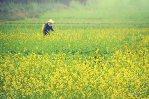 Đông đến, những vùng quanh Hà Nội như làng Phù Đổng, cánh đồng Yên Viên hay ven bờ sông Đuống lại ngập tràn sắc vàng hoa cải. Tuy nhiên, các vườn hoa cải ở đây thường đông vào dịp cuối tuần, giá vào khoảng 20.000 đồng/ lượt. Ảnh: Cao Anh Tuấn.