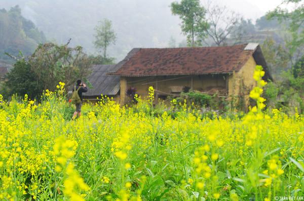 Nếu muốn trải nghiệm các cung đường kết hợp ngắm hoa cải, Hà Giang cũng là địa điểm không thể bỏ qua. Bên cạnh việc không thu phí, hoa cải ở cao nguyên đá còn mang vẻ đẹp hoang sơ giữa khung cảnh hùng vĩ. Ảnh: Trần Việt Anh.