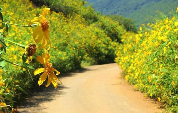 """Thời gian này là vào mùa """"săn"""" hoa dã quỳ và Đà Lạt là nơi nổi tiếng nhất. Một số địa điểm rực vàng dã quỳ là chân đèo D'ran; đường lên núi Lang Biang; đường An Bình, hướng đi khu du lịch Hầm Đất Sét; cao tốc Liên Khương đoạn hết đèo Prenn... Ảnh: Lê Phúc."""