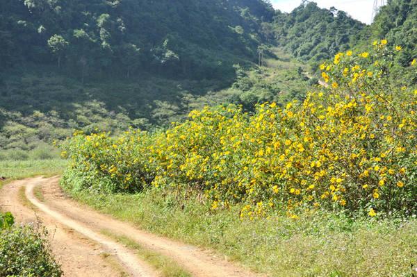 Ở miền Bắc, Mộc Châu, Ba Vì là nơi hút dân phượt vào mùa dã quỳ. Những vạt hoa vào tháng 11 trải dài theo các con đường đất đỏ, nhiều nhất là lối lên đồi chè Tân Lập, Pa Phách (Mộc Châu). Ảnh: Tâm An.