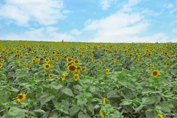 Cuối tháng 11 là thời điểm cánh đồng hoa hướng dương nở rộ, thu hút phượt thủ đến huyện Nghĩa Đàn, Nghệ An. Hoa hướng dương ở đây cao khoảng 1-1,5 m, bông nở to. Đây là nông trường trồng nguyên liệu và khách có thể vào cửa tự do. Ảnh: Tuấn Đào