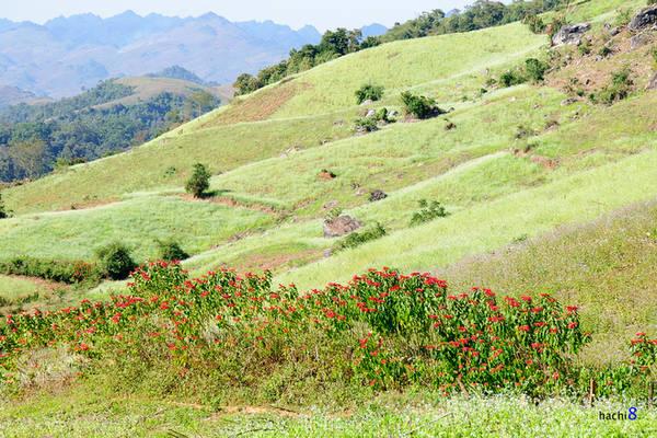 Ngoài cải trắng, bạn cũng có cơ hội chiêm ngưỡng màu đỏ rực của hàng cây trạng nguyên trên các sườn núi. Ảnh: Hachi8