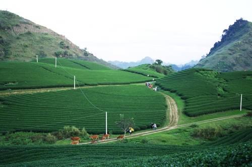 Quang cảnh đồi chè xanh mướt ở thị trấn nông trường Mộc Châu vào tháng 11. Ảnh: Hương Chi