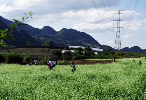 Mộc Châu khoảng các tháng 11, 12 bắt đầu được phủ trắng bằng các cánh đồng hoa cải. Ảnh: Hương Chi